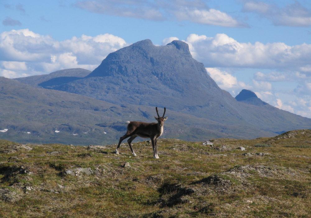 Junkerdal nasjonalpark, Fauske kommune, Nordland. Kalv av rein på Anna, Sulitjelma. Nord-Saulo i bakgrunnen.